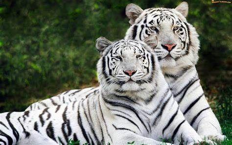 Kraj: Dzień Tygrysa