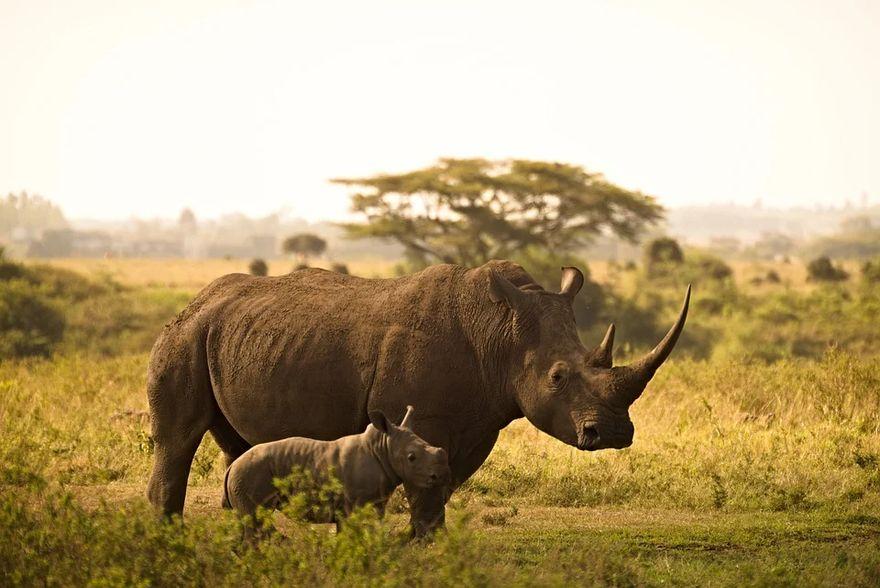 Kraj: Dzień Nosorożca