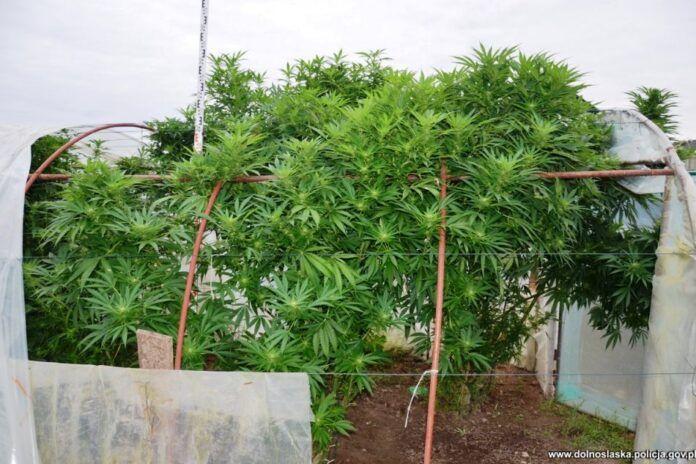 Bolesławiec: Pomidory z marihuaną