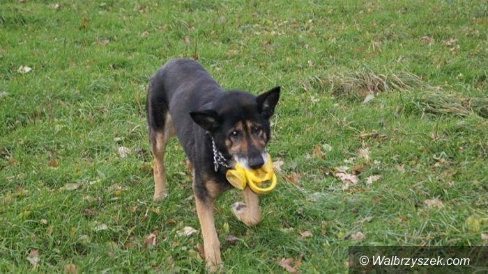 Wałbrzych: Jackie, pies szukający domu