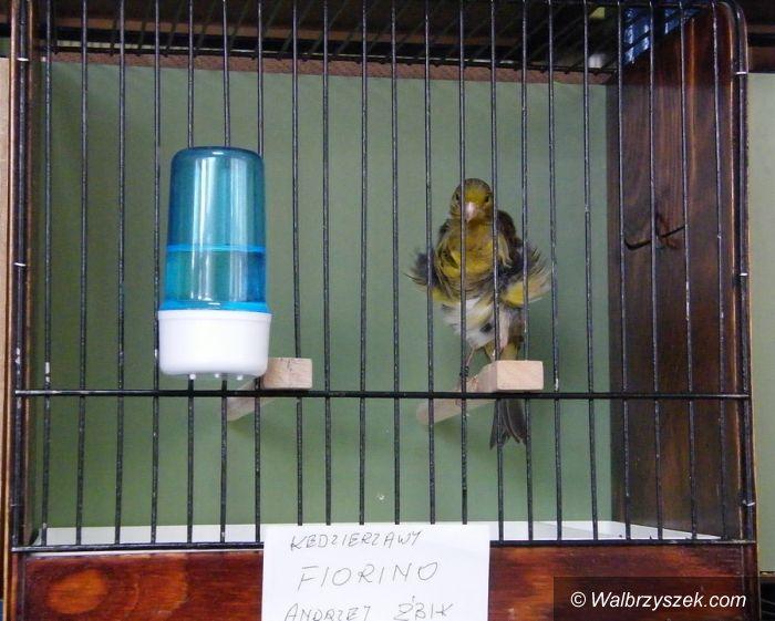 Wałbrzych: Wystawa kanarków i ptaków ozdobnych