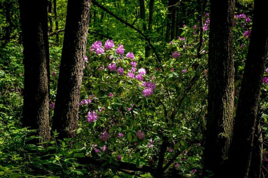 Wałbrzych: Rododendrony upiększają park