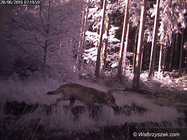 REGION: Zaatakowały prawdopodobnie wilki