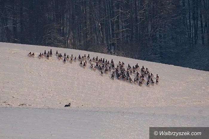 Wałbrzych/powiat wałbrzyski: Bezpańskie psy stanowią zagrożenie
