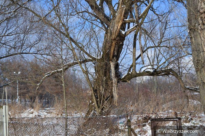 Wałbrzych: Problem starych drzew