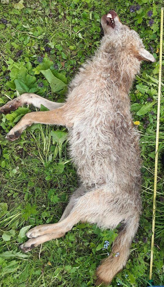 REGION, Mieroszów: Martwy wilk