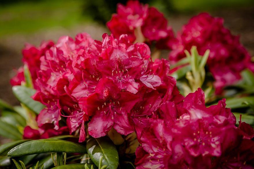 Wałbrzych: Rododendronowy raj