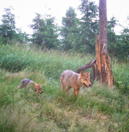 Wałbrzych/REGION: Wilki są obecne