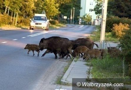 REGION, Boguszów-Gorce: Odstrzelą dziki