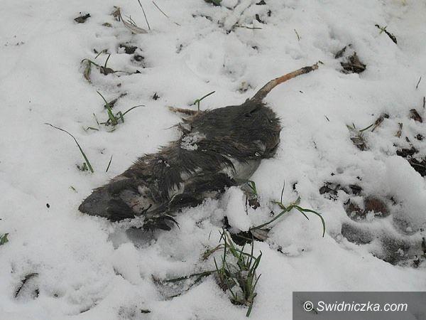 Świdnica: Martwy szczur – co robić?