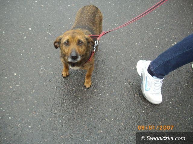 Świebodzice: Bez dachu nad głową i potrącony pies czeka na nowego właściciela