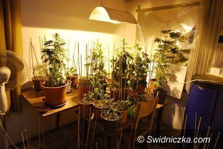 Świdnica: Domowa plantacja marihuany ujawniona