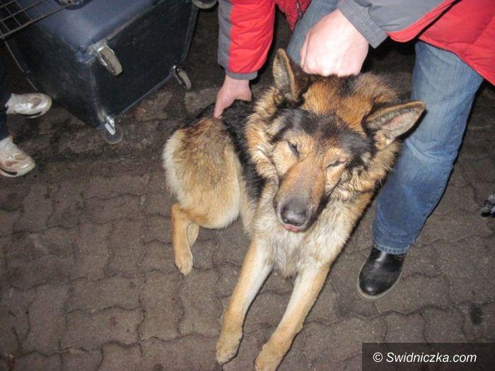 Świdnica: Agresywne owczarki niemieckie
