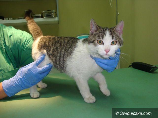 Strzegom: Śliczna, około pół roczna kotka szuka domu