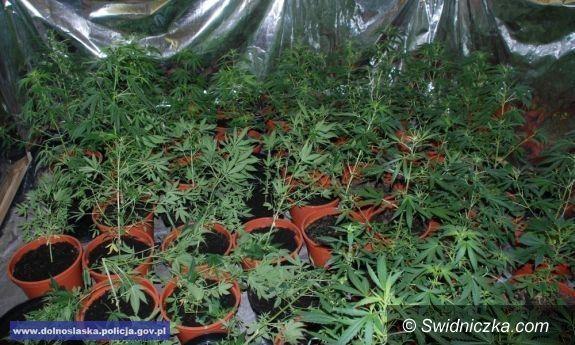 Świdnica: Kolejna plantacja konopi zlikwidowana