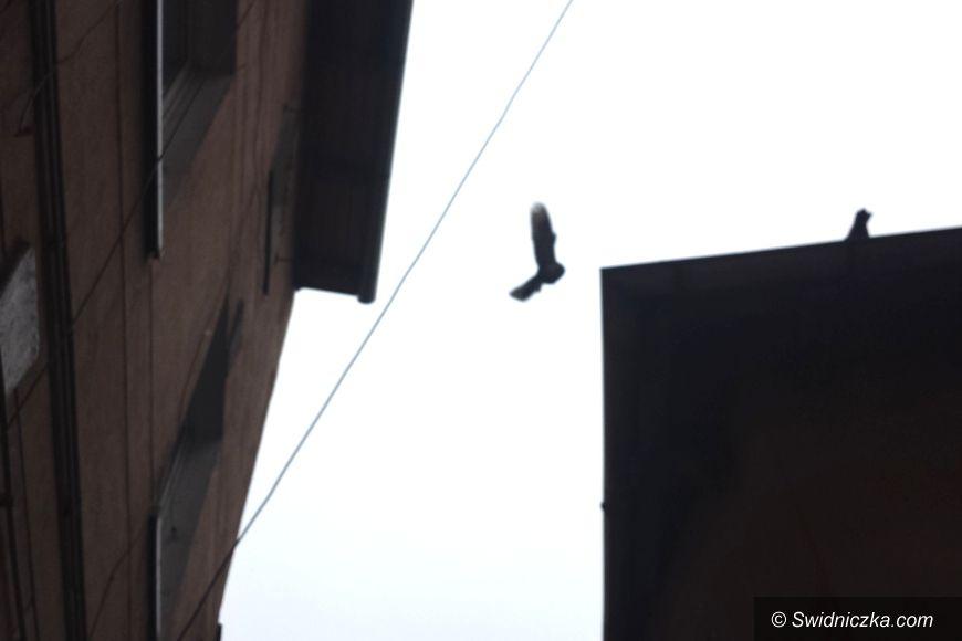 Świdnica: Gołębie serce