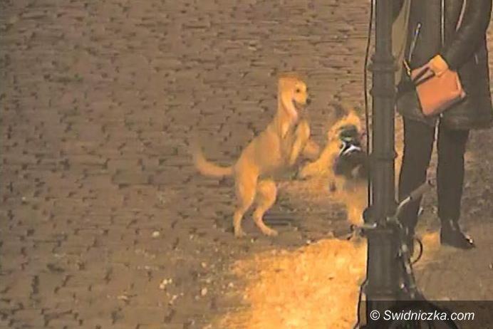 Świdnica: Pies potrącony na ul. Ofiar Oświęcimskich