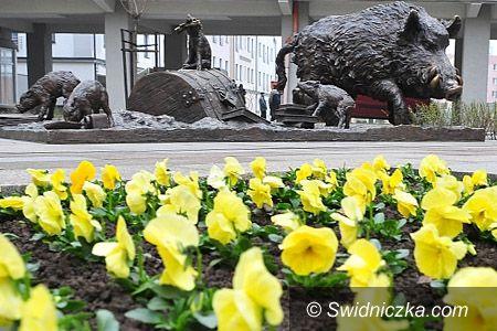 Świdnica: Pierwsze wiosenne kwiaty w Świdnicy