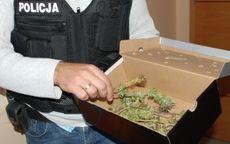 Strzegom: A w pudełku zamiast butów–marihuana