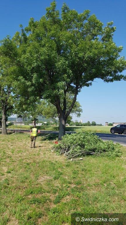 Strzegom: Drzewa po korekcie