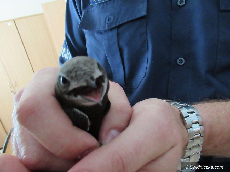 Świdnica: Świdniccy policjanci uratowali pisklę jerzyka