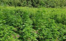 powiat świdnicki: Plantacja marihuany w lesie zlikwidowana