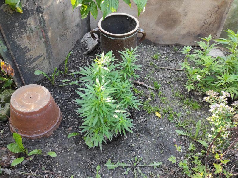 Świebodzice: Przydomowa plantacja